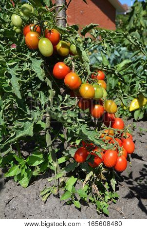 Cherry tomatoes are one of the easiest veggies to grow and as a gardener. Ripe cherry tomatoes growing on the branches.