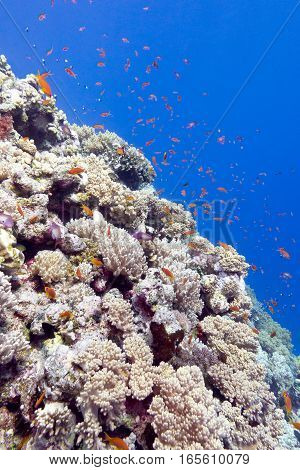 coral reef with exotic fishes in tropical sea underwater.
