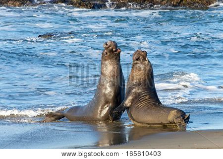 Two male bull elephant seals fighting on the beach in Central California. The bulls engage in fights of supremacy to determine who will get to mate with the females.