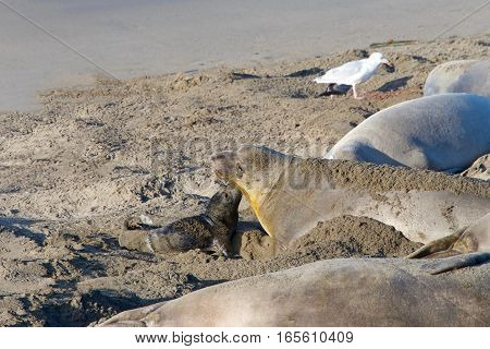 Female elephant seal with hours old infant pup on a beach in Central California. Pups nurse about four weeks are weaned abruptly then abandoned by their mother who heads out to sea within a few days.