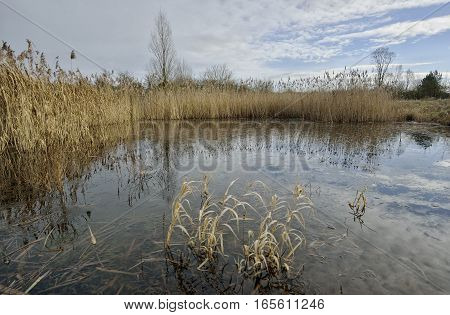 Winter pond with reedbed - Phragmites australis