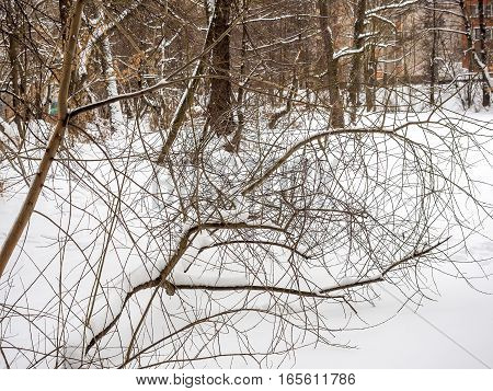 Snow-covered tree branch after snowfall in winter.