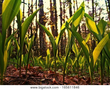 lily-of-the-valley grow in the forest sunlight, spring, nature