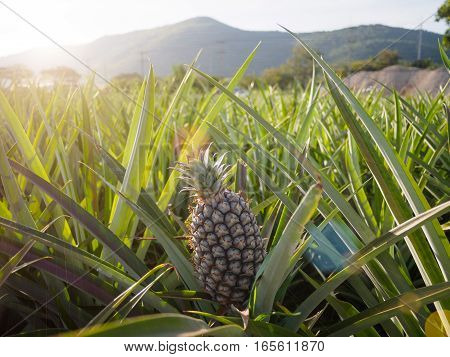 The landscape of pineapple farm with mountain