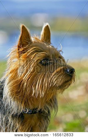 Head of Australian Terrier male watching , alert