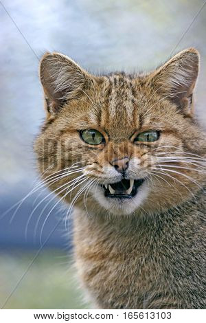 Head of European Wildcat hissing portrait close up