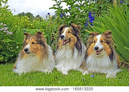 Shetland Sheepdog three sitting together in garden.