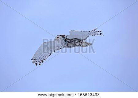 Snowy Owl in flight soaring in blue sky