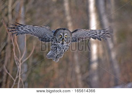 Great Grey Owl in flight, hunting in daytime
