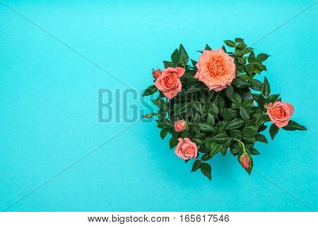 beautiful pink rose on a cian background