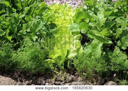 Young lettuce with radish and dill in ecological home garden. Eco-friendly formal  vegetable backyard garden.