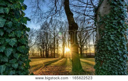 Trees surrounded by ivy in park at sunset.
