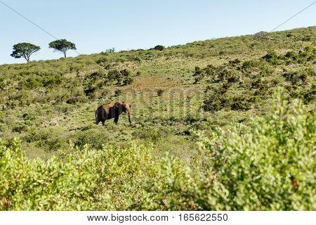 Bush Elephant Walking Uphill
