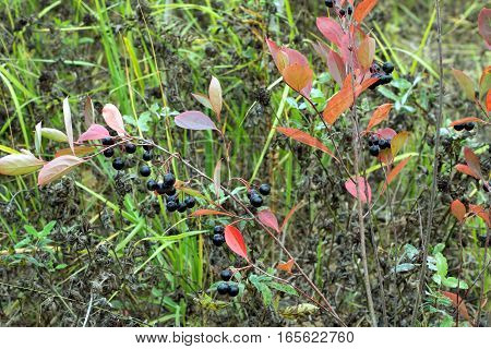 Many rowan-berries fruits hangs on green branches in early autumn in a city. Closeup photo