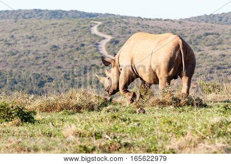 Black Rhinoceros Lifting His Leg