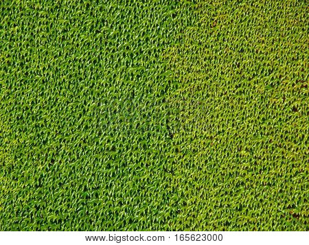 The Wall Covered with Vibrant Green Ivy Foliage, Natural Green for Background
