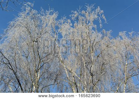 Birches covered in icy cold with hoarfrost - detail