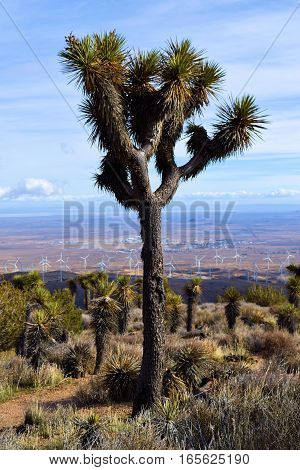 Lone Joshua Tree surrounded by Yucca Plants and Sagebrush taken at the Mojave Desert in Tehachapi Pass, CA