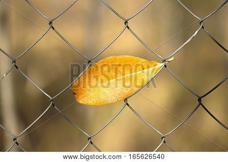 End of summer season. Single yellow autumn leaf hanging in metal net close up