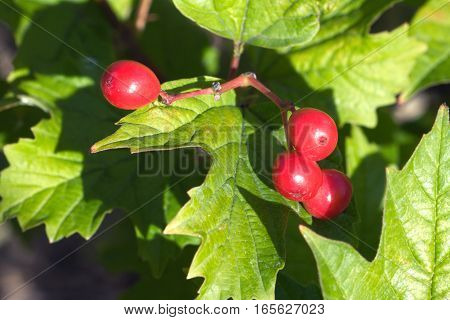 Red viburnum fruits hangs on green bunch closeup view