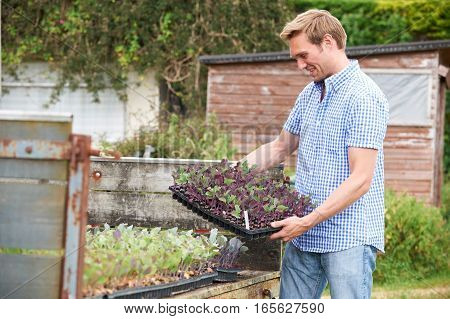 Farmer Planting Trays Of Seedlings On Organic Farm