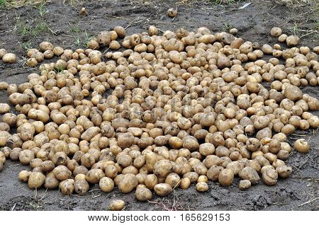 the stack of freshly harvested organic potatoes in the field