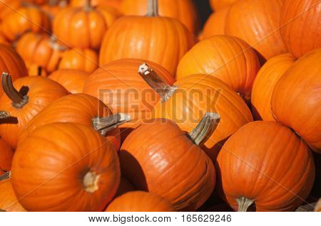 Pile Of Pumpkins In Sunlight