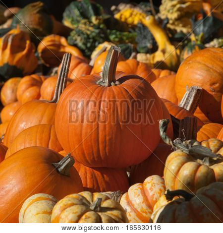 Pumpkins In Autumn Sun