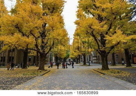 December 2016 in Tokyo Japan - Ginkgo leaves change color at Tokyo university