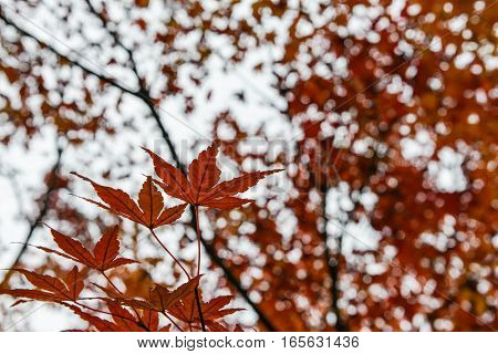 Maple leaves is changing the color as background