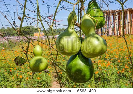 Bunch of calabash is in the farm