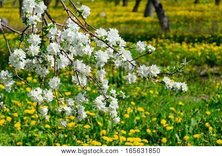 Blooming branch of apple tree in garden on blurred background of yellow dandelions