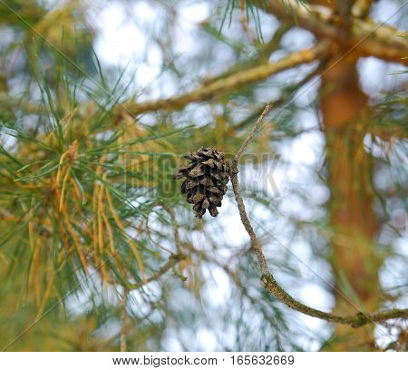 Perfect winter background with pine cones on tree