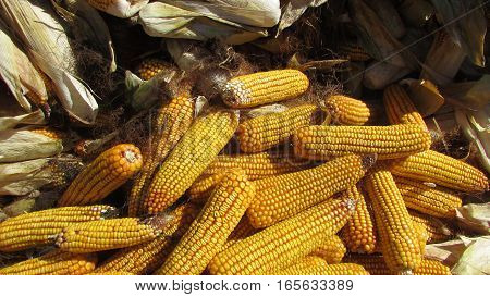 Small group of yellow corn, коорм, meal for animals