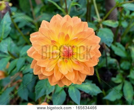 Frontal closeup of a beautifully blooming dhalia (dalia) with petals in color tones from peach / pastel ranging to red, orange and yellow - sunny and positive colors. The garden flower is in full bloom with a widely open bud.