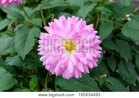 frontal closeup of a single blooming dahlia (dalia) with petals in gradients from pink to white