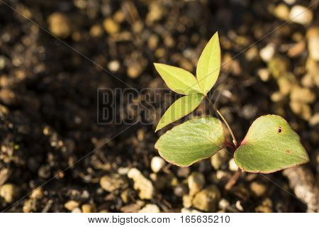Green nandina tree sprout in early winter