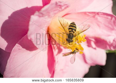 Hoverfly(Eristalis tenax) came to pink camellia sasanqua flower in winter