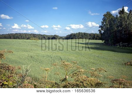 Rural summer landscape with a field in foreground and forest in a distance under clear blue sky with white clouds on a sunny day