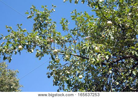 Apple tree branches with apple fruit crop on sunny summer day