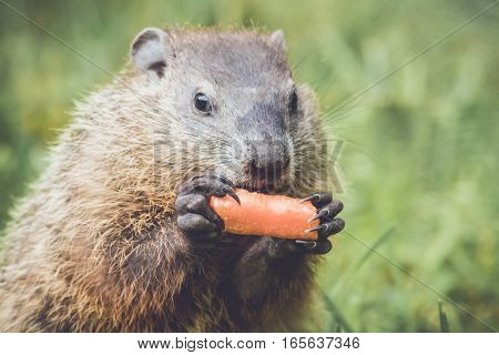 Small Groundhog (Marmota Monax) holding carrot like a corn cob