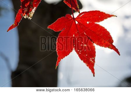 Sunlight leaking from vivid red maple leaf holes