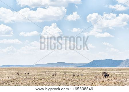 An ostrich family on a farm near Jagersfontein a diamond mining town in the Free State Province of South Africa