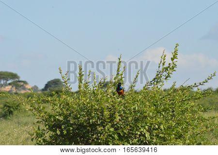 Starling on a shrub in East Tsavo Park in Kenya