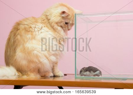 The Cat Looks At The Aquarium Hamster