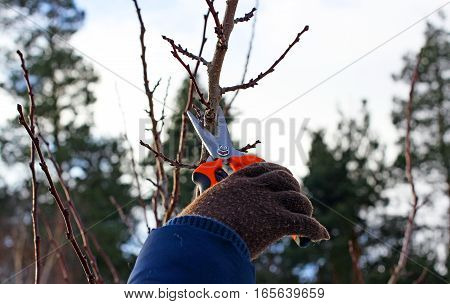 pruning an apricot tree in the early spring