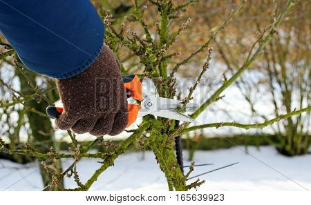 pruning a cherry tree in the early spring