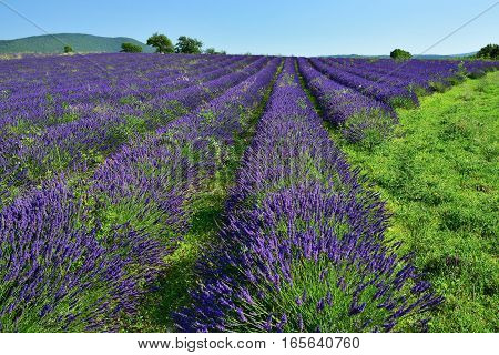 Stunning landscape with lavender field. Plateau of Sault Provence France