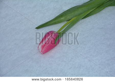 Pink tulip lies in the snow (Tulipa)