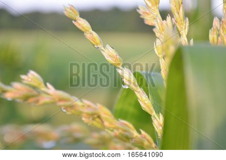 Closeup of dew drop on corn tassel in the early morning